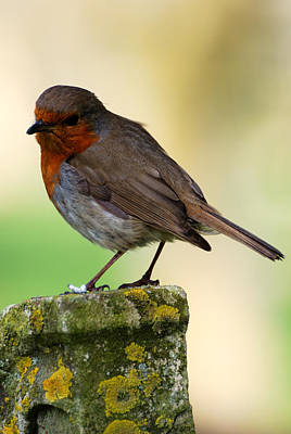 Photograph - Church Robin by Wendy Wilton