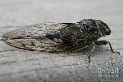 Apophysis Photograph - Cicada-4 by Pittsburgh Photo Company