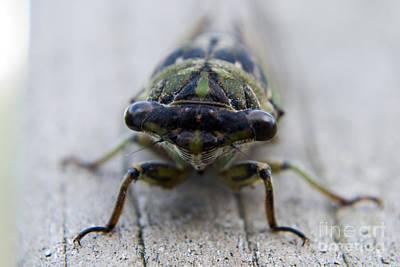 Apophysis Photograph - Cicada-7 by Pittsburgh Photo Company