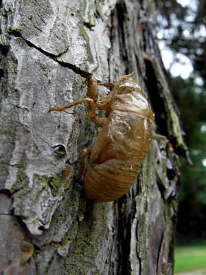 Photograph - Cicada Bug Shell Nc Usa 2013 by Kim Galluzzo Wozniak