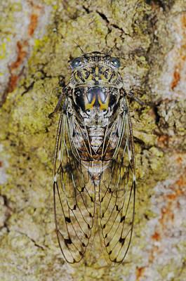 Photograph - Cicada by Fabio Pupin/FLPA