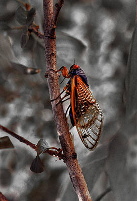 Photograph - Cicada by Jamieson Brown