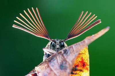 Cicada Photograph - Cicada Parasite Beetle by Melvyn Yeo