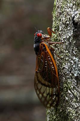 Photograph - Cicada by Robert Camp