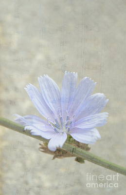 Photograph - Cichorium by Ioanna Papanikolaou