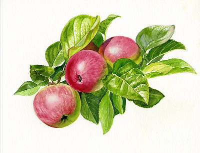 Apple Watercolor Painting - Cider Apples With White Background by Sharon Freeman