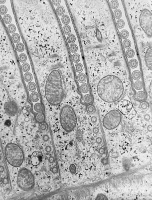 Cilia Of Paramecium Art Print by David M. Phillips