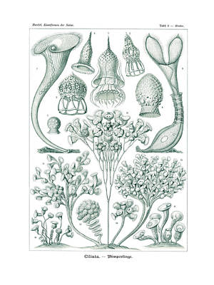 Art In Nature Drawing - Ciliata by Splendid Art Prints