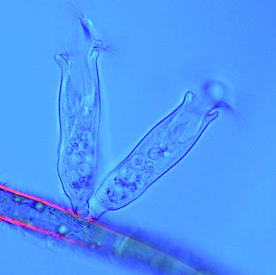 Microscopic Photograph - Ciliate Protozoa by Marek Mis