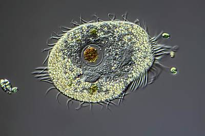 Unicellular Photograph - Ciliate Protozoan by Frank Fox