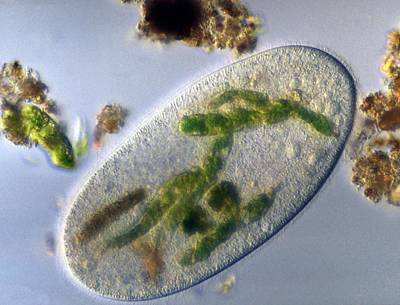 Unicellular Photograph - Ciliate With Ingested Prey by Clouds Hill Imaging Ltd