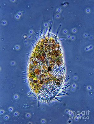 Photograph - Ciliated Protozoan by De Agostini Picture Library