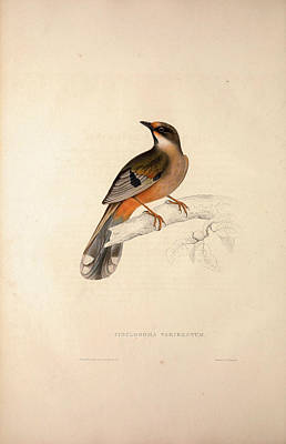Asian Artist Drawing - Cinclosoma Variegatum. Birds From The Himalaya Mountains by Quint Lox