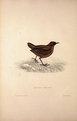 Asian Artist Drawing - Cinclus Pallasii, Brown Dipper. Birds From The Himalaya by Quint Lox