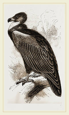 Vulture Drawing - Cinereous Vulture by Litz Collection