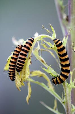 Trio Photograph - Cinnabar Moth Caterpillars by Colin Varndell