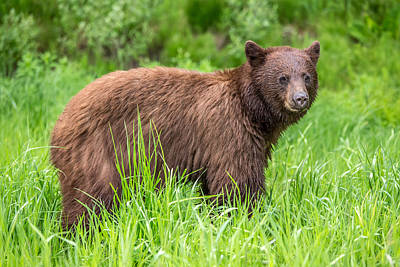 Photograph - Cinnamon Bear In Whistler by Pierre Leclerc Photography