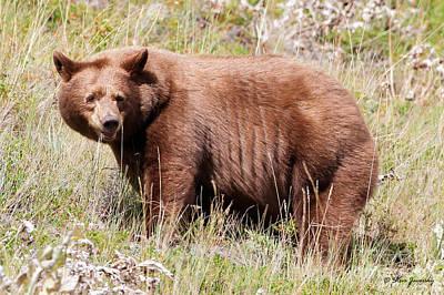 Photograph - Cinnamon Black Bear Glacier National Park by Steve Javorsky