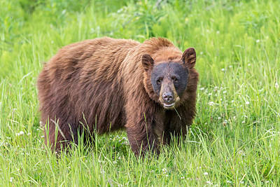 Photograph - Cinnamon Black Bear by Pierre Leclerc Photography