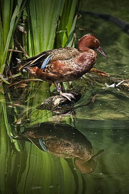 Cinnamon Teal Duck With Reflection Print by Randall Nyhof