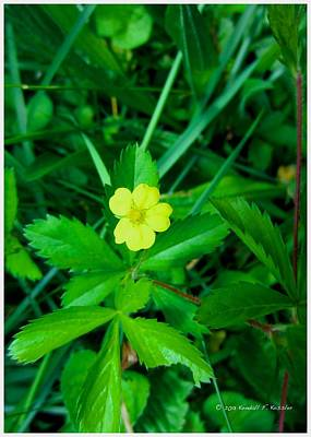 Photograph - Cinqfoil Beauty by Kendall Kessler