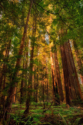 Circle Of Light - California Redwoods Art Print