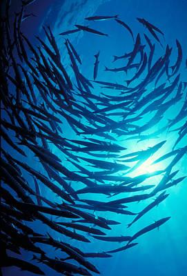 Photograph - Circling School Of Chevron Barracuda by FREDERICK R McCONNAUGHEY