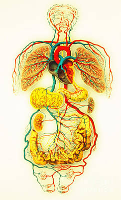 Circulatory System Art Print