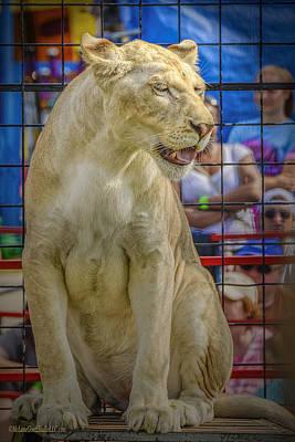 Angry Photograph - Circus Lion by LeeAnn McLaneGoetz McLaneGoetzStudioLLCcom