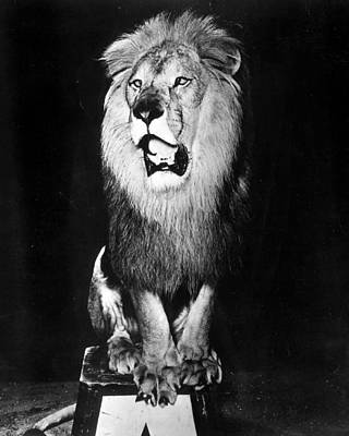 Trick Photograph - Circus Lion Shows He Is Royality by Retro Images Archive