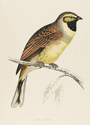 Bunting Drawing - Cirl Bunting (emberiza Cirlus) by Mary Evans Picture Library