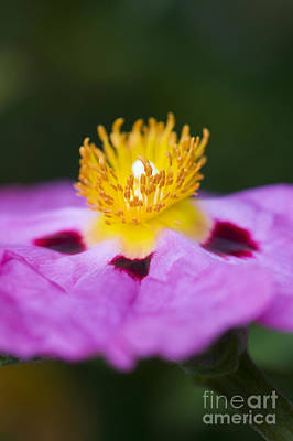 Cistus Purpureus Rock Rose Art Print by Tim Gainey