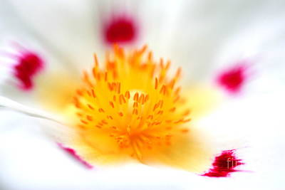 Floral Photograph - Cistus by Rebeka Dove