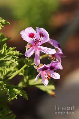 Photograph - Citronella Geranium by Megan Cohen