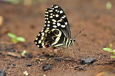 Animals And Insects Photograph - Citrus Butterfly Puddling Jozani by Thomas Marent