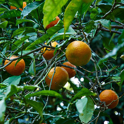 Photograph - Citrus Sinensis by Jouko Lehto