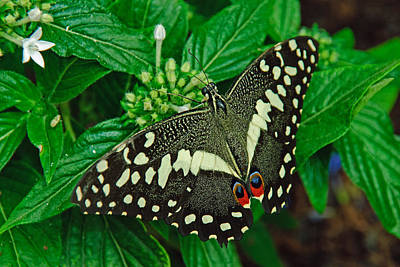 Photograph - Citrus Swallowtail by Tam Ryan