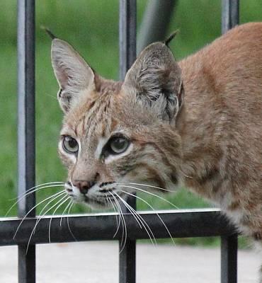 Photograph - City Bobcat by Diane Alexander