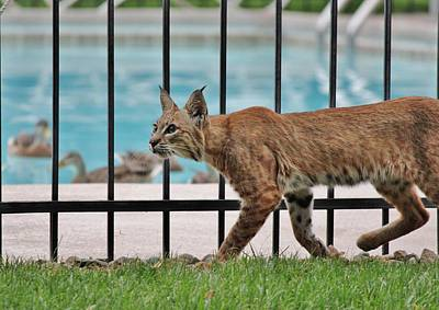 Photograph - City Bobcat Stalking by Diane Alexander