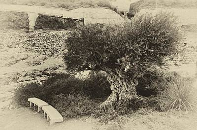 Photograph - City Of David Olive Tree Jerusalem by Mark Fuller