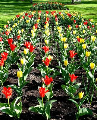 Photograph - City Of Vernon Tulips by Will Borden