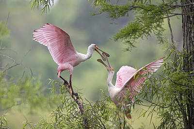 Roseate Spoonbill Photograph - Clacking Bills by Bonnie Barry