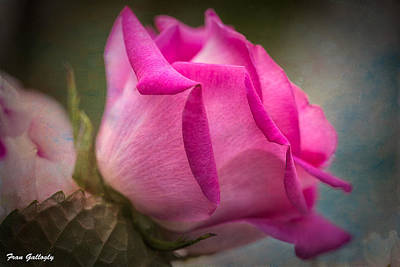 Photograph - Claire's Rose by Fran Gallogly