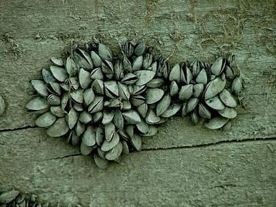 Clam Shells Art Print