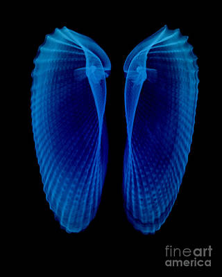Photograph - Clam Shells X-ray by Bert Myers
