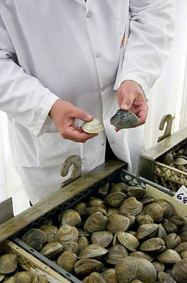 Clams Before And After Cleansing Print by Food & Drug Administration
