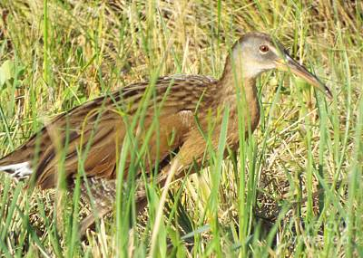 Photograph - Clapper Rail Stalking by Audrey Van Tassell
