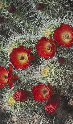 Photograph - Claret Cactus - Vertical by Gregory Scott