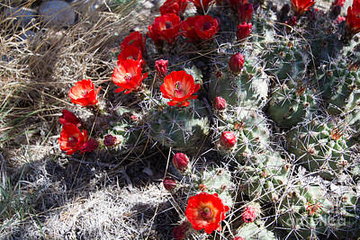 Photograph - Claret Cup Cactus by Martha Marks