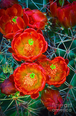 Botanic Photograph - Claret Cup by Inge Johnsson